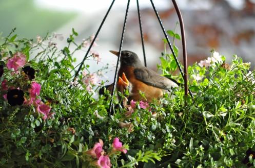 Robin 6