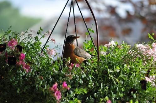 Robin 8