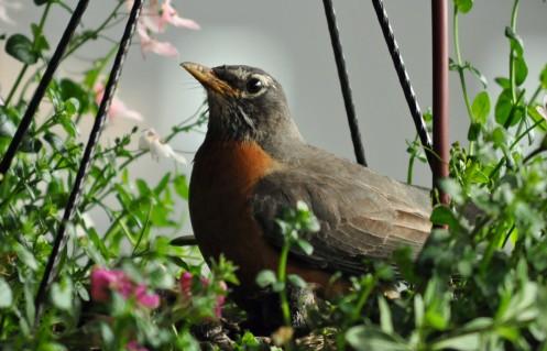 Robin 9A